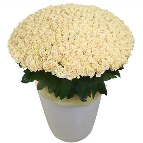 301 біла троянда у великому вазоні фото товару